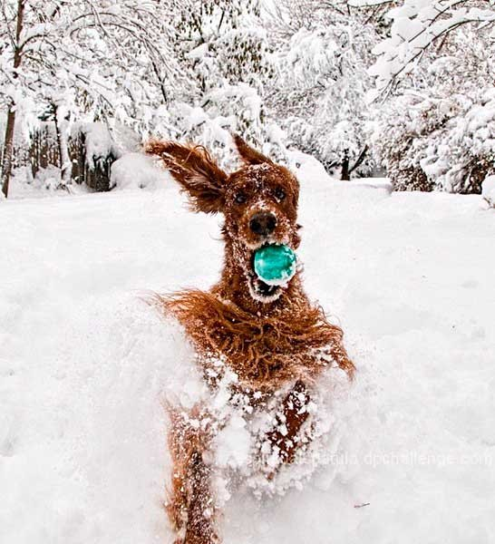 sobaki-v-snegu1