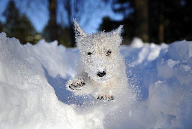 sobaki-v-snegu11