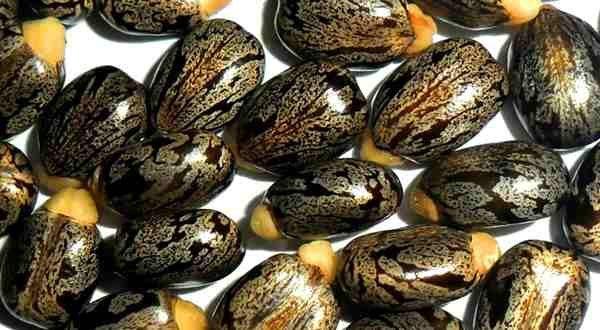 Фото. Семена клещевины