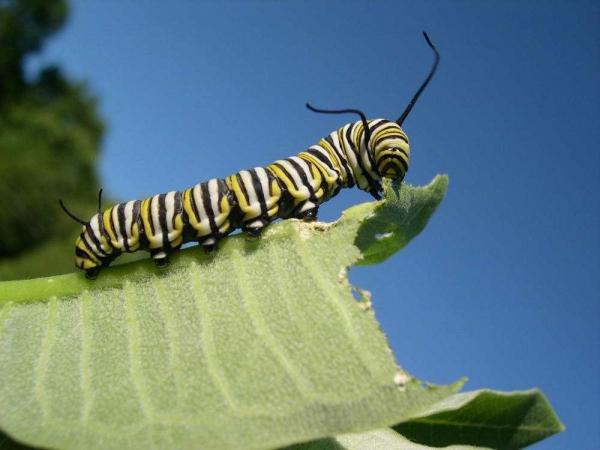 Фото. Гусеница бабочки монарх (Danaus plexippus)