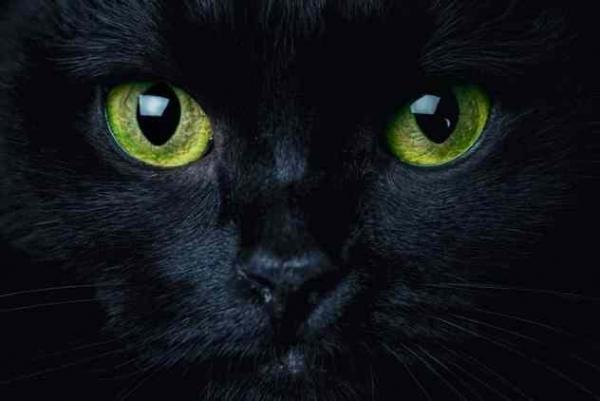 Фото. Зеленый глаза черной кошки