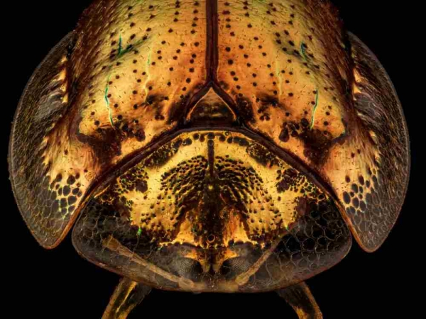 Фото. Золотая черепаха (лат. Charidotella sexpunctata )