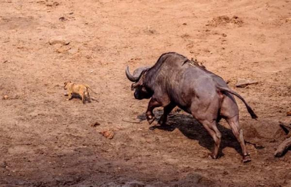 львенок и большой буйвол