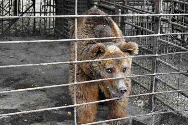 медведь грустит в клетке