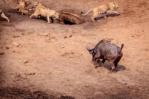когда львенок был под копытами буйвола