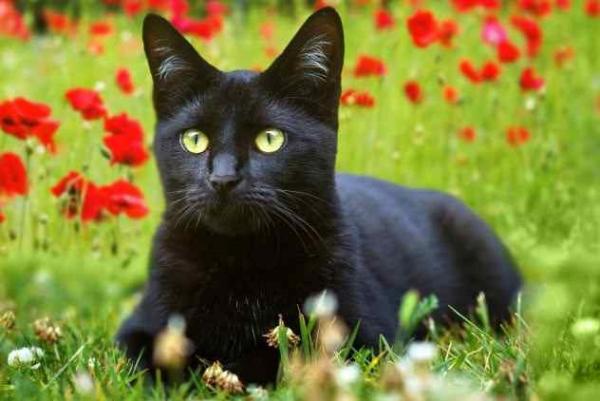 Фото. Черная кошка среди цветов