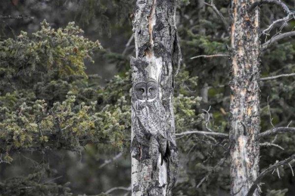 бородатую неясыть на дереве
