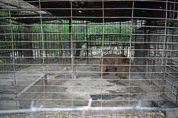 медведь заперт в клетке 30 лет