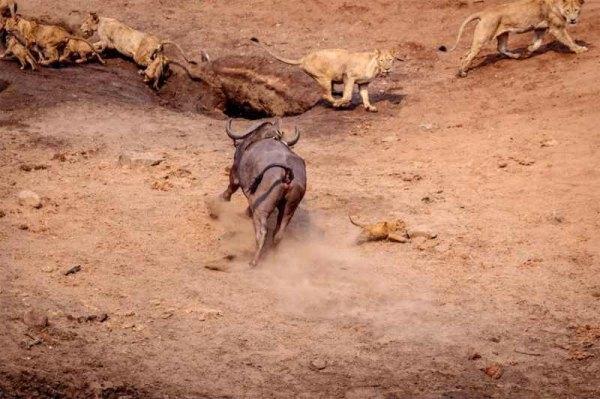 львенок уклонился от копыт буйвола