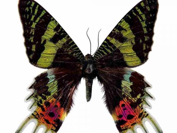 Фото. Урания мадагаскарская (Chrysiridia rhipheus)
