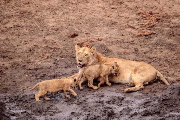 два львенка возле своей матери