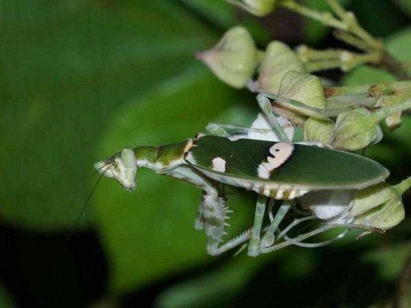 Фото. Индийский цветочный богомол (лат. Creobroter pictipennis)