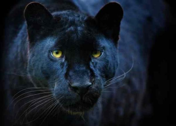Фото. Черная пантера