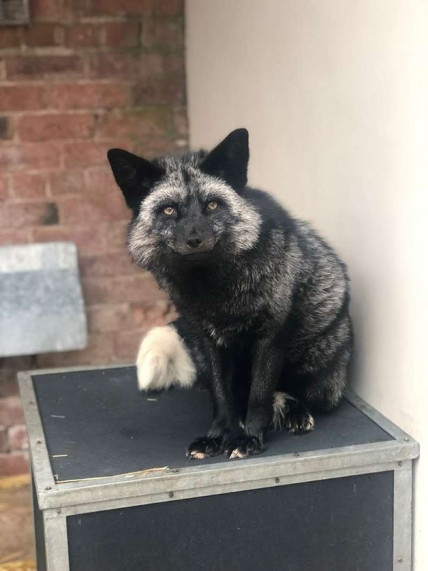SILVER_FOX