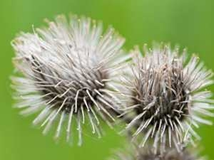 Фото. Цветок лопуха