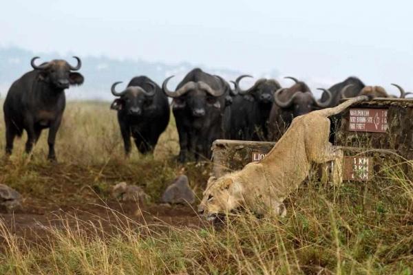 лев убежал от буйволов