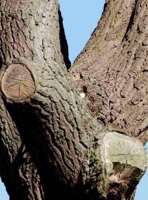 маленькая сова невидима на дереве