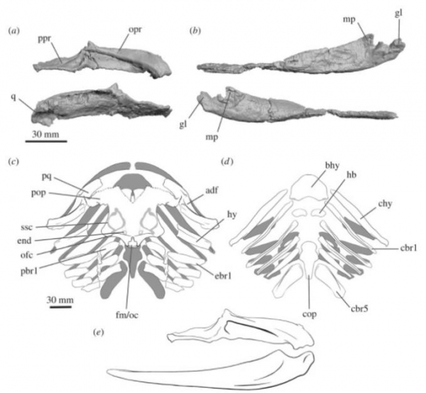 Фото. Фрагменты акулы Gladbachus adentatus