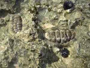 Фото. Зарывшийся моллюск