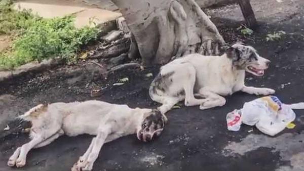 Две собаки одну сбила машина