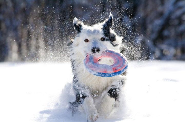 sobaki-v-snegu12