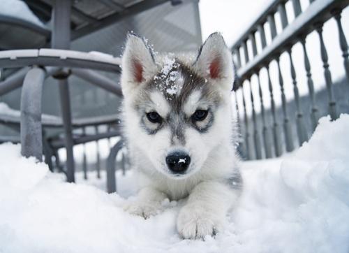 sobaki-v-snegu8