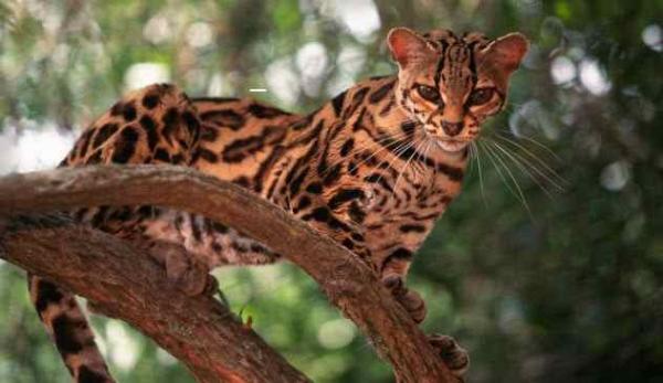 Фото. Кошка Маргай (лат. Leopardus wiedii)