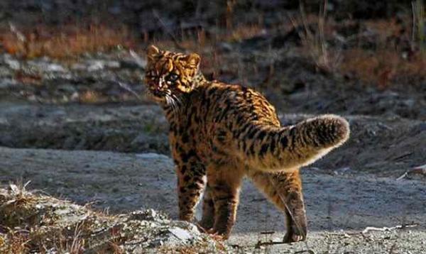 Фото. Мраморная кошка