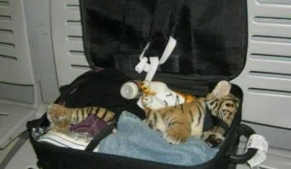 Фото. Тигренок в чемодане