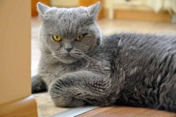 Фото. Злой кот