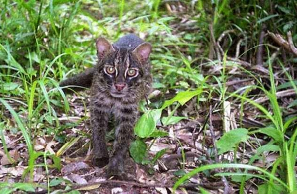 Фото. Ириомотейская кошка