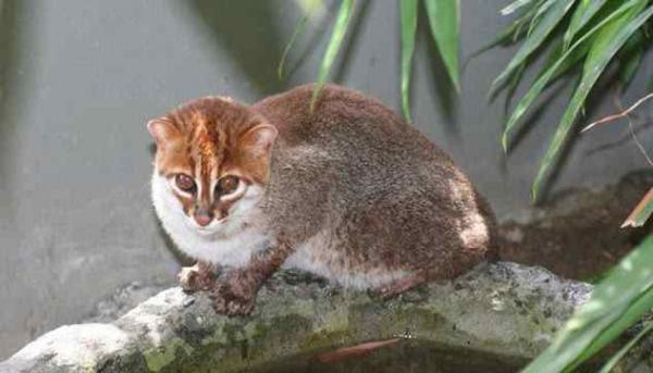 Фото. Суматранская кошка (лат. Prionailurus planiceps)