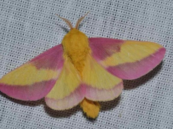 Фото. Розовая кленовая бабочка (лат. Dryocampa rubicunda)