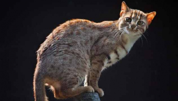 Фото. Пятнисто-рыжая кошка (лат. Prionailurus rubiginosus)