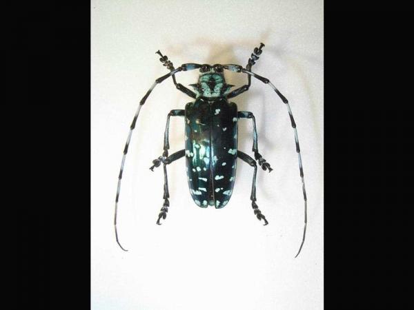 Фото. Длинноусый таиландский жук (лат. Anoplophora sollii)