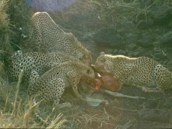 Фото. Гепарды едят