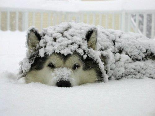 sobaki-v-snegu19