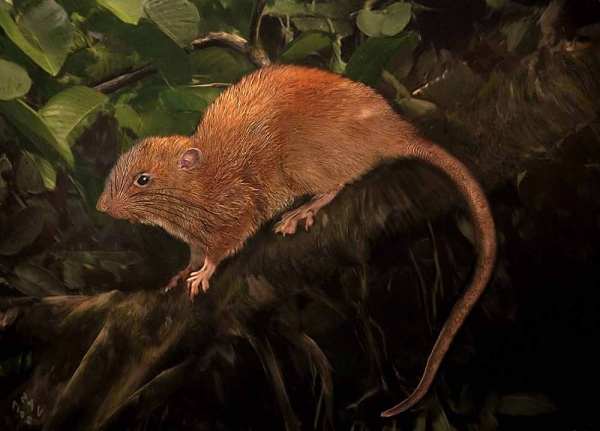 Фото. Гигантская крыса (лат. Uromys vika)