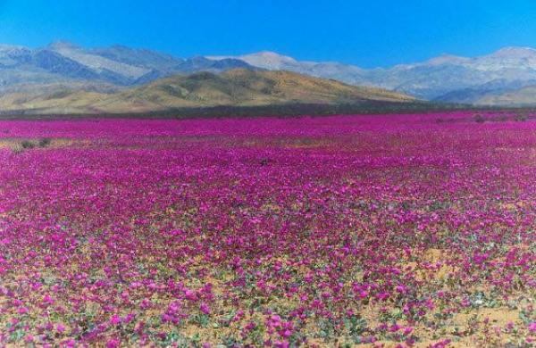 Фото. Цветущая пустыня