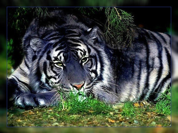 Фото. Мальтийский тигр