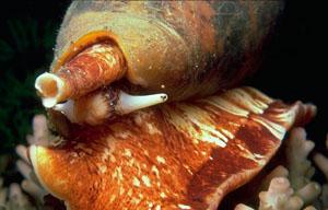 Фото. Географический конус (Conus geographus)