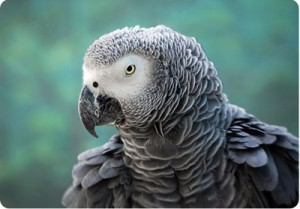 Фото. Серый попугай (Psittacus Erithacus)