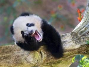 Фото. Смешная панда