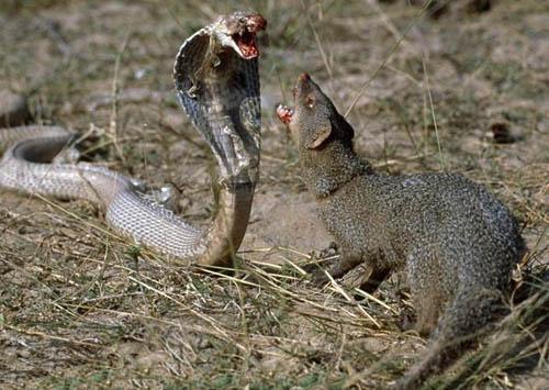 Фото. Схватка мангуста с коброй