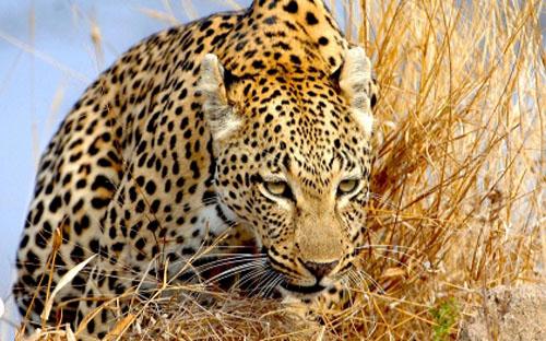 Фото. Самый быстрый хищник - гепард