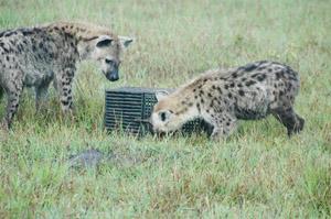 Фото. Гиены пытаются открыть ящик