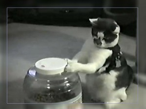 Видео. Кот открывает крышку банки