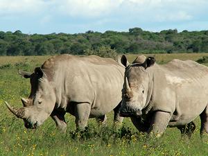 Фото. Африканские носороги