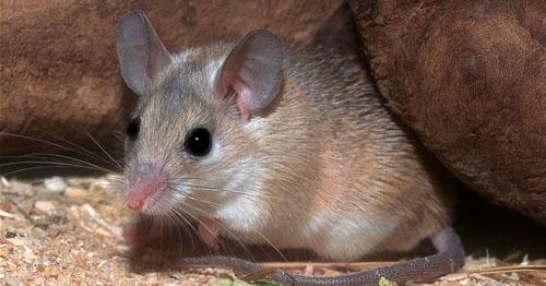 Фото. Иглистая мышь