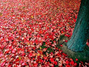 Фото. Красные листья в Америке